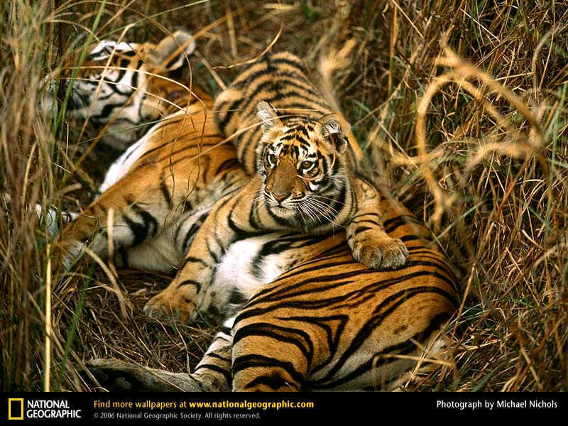 Tiger Pictures What Do Tigers Symbolize Tiger Tiger Burning